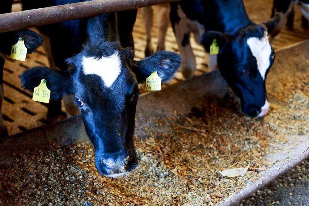 40 Stunden - Kühe fressen im Stall