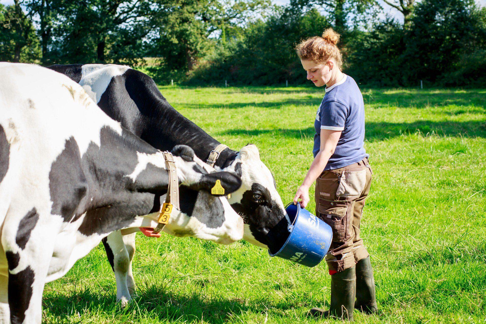 Melkerin füttern Kühe